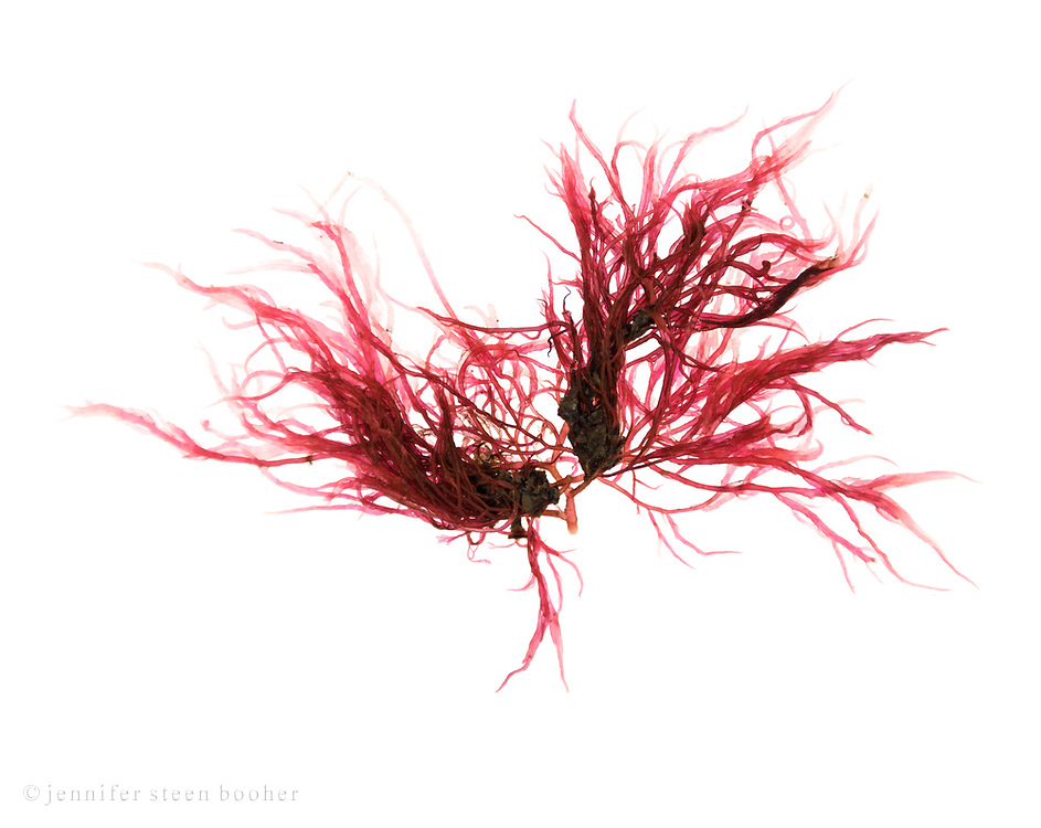 Unidentified red algae, possibly Dumontia contorta. Seal Harbor beach, Maine; February 5, 2018.