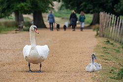 © Licensed to London News Pictures. 10/06/2020. London, UK. The surviving cygnet sibling is shielded by its mother as Police patrol Pen Ponds in Richmond Park after a newborn cygnet received life threatening injuries when a runner kicked it out of his way. The young swan which is on death's door is being cared for by a swan specialist centre. Parks Police have appealed for witnesses. Photo credit: Alex Lentati/LNP