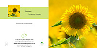 Close up of Sunflower Helianthus annuus Square Greeting Card with Peel and Seal White Envelope