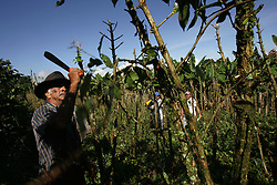 A worker cuts the branches off of old coffee plants at El Balso farm.  After the plants have produced for a number of years they are cut back and allowed to rejuvenate. The tourism industry is slowly emerging in Quindio, the Colombian coffee country.  Old coffee haciendas have been turned into new hotels catering to tourists.  The countryside, some of the most beautiful in the country, is a popular weekend getaway spot where visitors can participate in a variety of outdoor activities as well as learn about coffee production.