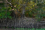 Wurzelwerk an einem Flussufer im Pantanal, Brasilien<br /> <br /> Root system at a riverside in the Pantanal, Brazil