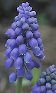 Close up photo of a grape hyacinth in Roslyn Heights, NY.