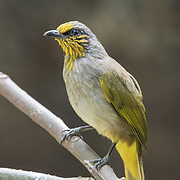The stripe-throated bulbul (Pycnonotus finlaysoni) is a species of songbird in the Pycnonotidae family. It is found in Cambodia, China, Laos, Malaysia, Burma, Thailand, and Vietnam. Its natural habitats are subtropical or tropical moist lowland forests and subtropical or tropical moist montane forests.