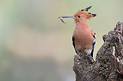 Eurasian Hoopoe (Upupa epops africana) collecting food for its chicks. Lake Naivasha, Kenya.