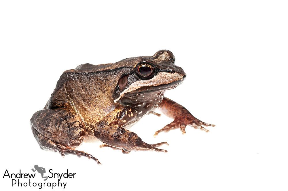 White lipped frog (Leptodactylus rhodomystax) - Potaro, Guyana