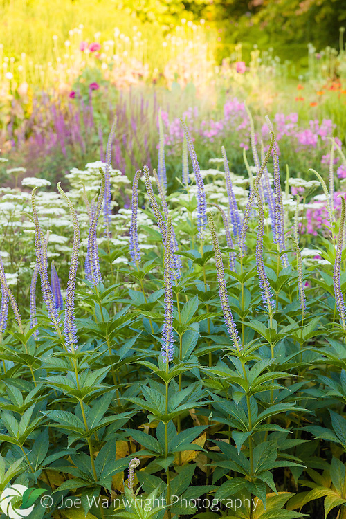 Cool blue spires of Veronicastrum contrast with the warm light of a July evening on the rest of the herbaceous border, at Bluebell Cottage Gardens, Cheshire