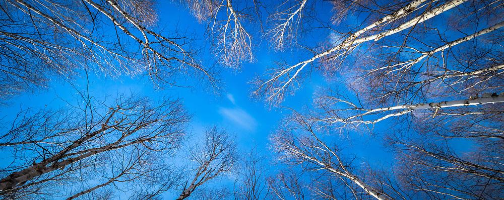 A circle of overhead birch trees, Alberta Canada