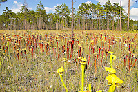 A field of Schnell's pitcher plants with some yellow pitcher plants in the foreground in the Apalachicola National Forest. Among these were numerous other types of carnivorous plants, as well as a couple types of terrestrial orchids. This is a regular stop for us when we are in the area, and something that really must be experienced. No photograph can do it justice!