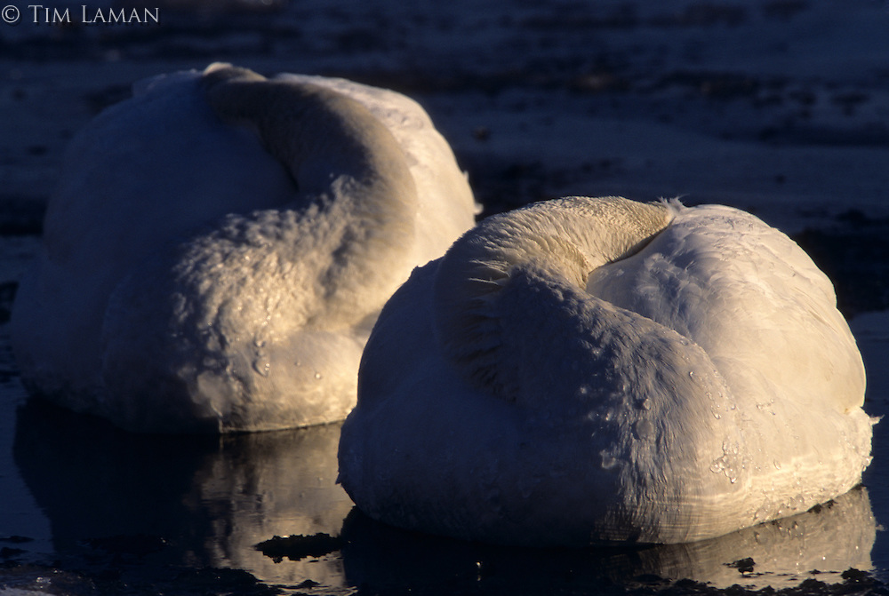 Two whooper swans (Cygnus cygnus)  resting with their heads tucked away.