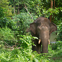 L'éléphant de Sumatra, Elephas maximus sumatranus, endémique des forêts de Sumatra, est une sous-espèce de l'éléphant d'Asie. L'éléphant de Sumatra est en voie d'extinction. Depuis 2011 Il a été placé par l'UICN sur la liste rouge des espèces menacées en tant qu'« espèce en danger critique ». La période de musth est un état de surexcitation sexuelle qui rend les males beaucoup plus agressifs, caractérisé par une sécrétion au niveau de la tempe
