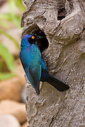 Cape Glossy Starling, Kruger, South Africa