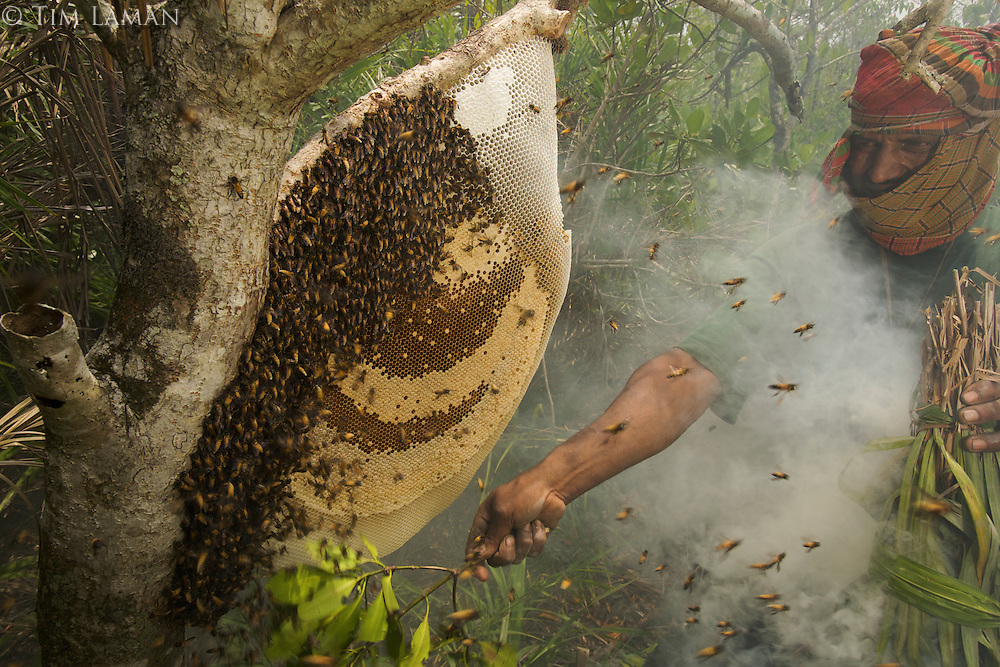 Brushing the bees of a honeycomb of the Giant Honeybee (Apis dorsata) using smoke to subdue the bees before cutting the honeycomb and collecting the honey.