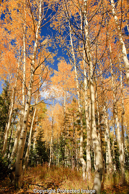 The Aspen trees beautiful fall colors near the North Rim of the Grand Canyon.