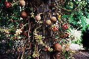 Cannonball tree, Foster Botanical Garden, Honolulu, Oahu, Hawaii