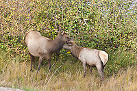 Elk (Cervus elaphus)  Cow and her calf during the autumn season, Colorado.