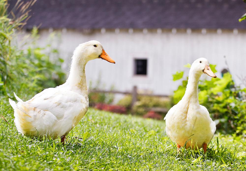 Two Pekin Long Island ducks in grass outside farm building