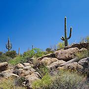 Saguaro cacti and desert wildflowers, Sonoran Desert, Scottsdale, Arizona.