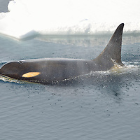 A male Orca of the Ross Sea Pod exhales after surfacing in McMurdo Sound, Antarctica