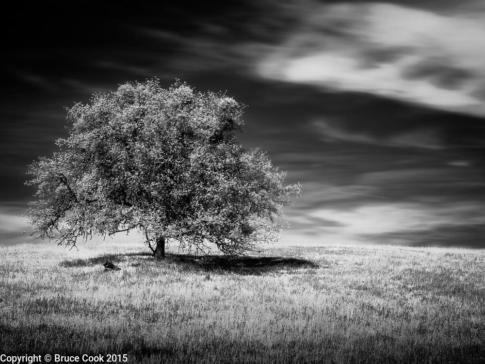 Infrared oaktree