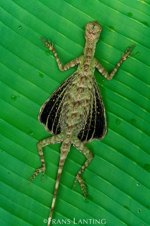Flying lizard on leaf, Draco volans, Sabah, Borneo