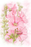 Watercolor rendition of a pink hollyhock flower stalk in light pink and green tones on white