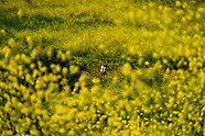 Mustard flowers bloom at Chino Hills State Park in Chino Hill