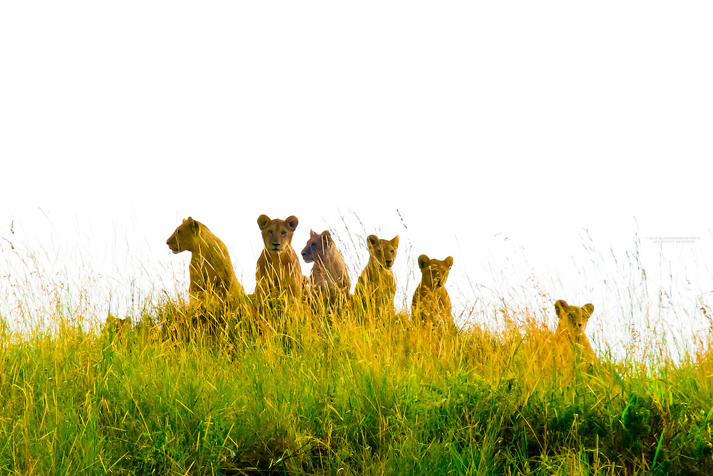 A pride of lions on a hillside, Masai Mara National Reserve, Kenya