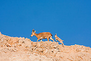 female and young Nubian Ibex (Capra ibex nubiana), Judaean Desert, Israel