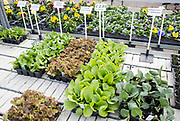Lettuce and cabbage plants seedlings in trays on sale Ladybird Nurseries garden centre, Gromford, Suffolk, England, UK