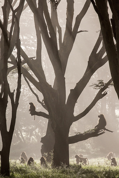 Baboons in mist-shrouded fever tree forest
