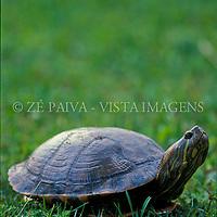 """Tartaruga-verde-e-amarela """"Chrysemys dorbigni"""", Parque Copesul de Protecao Ambiental, Rio Grande do Sul, Brasil. foto de Ze Paiva/Vista Imagens"""