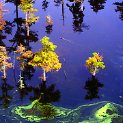 Aerial Photograph of Cypress Trees in the swamps of Louisiana