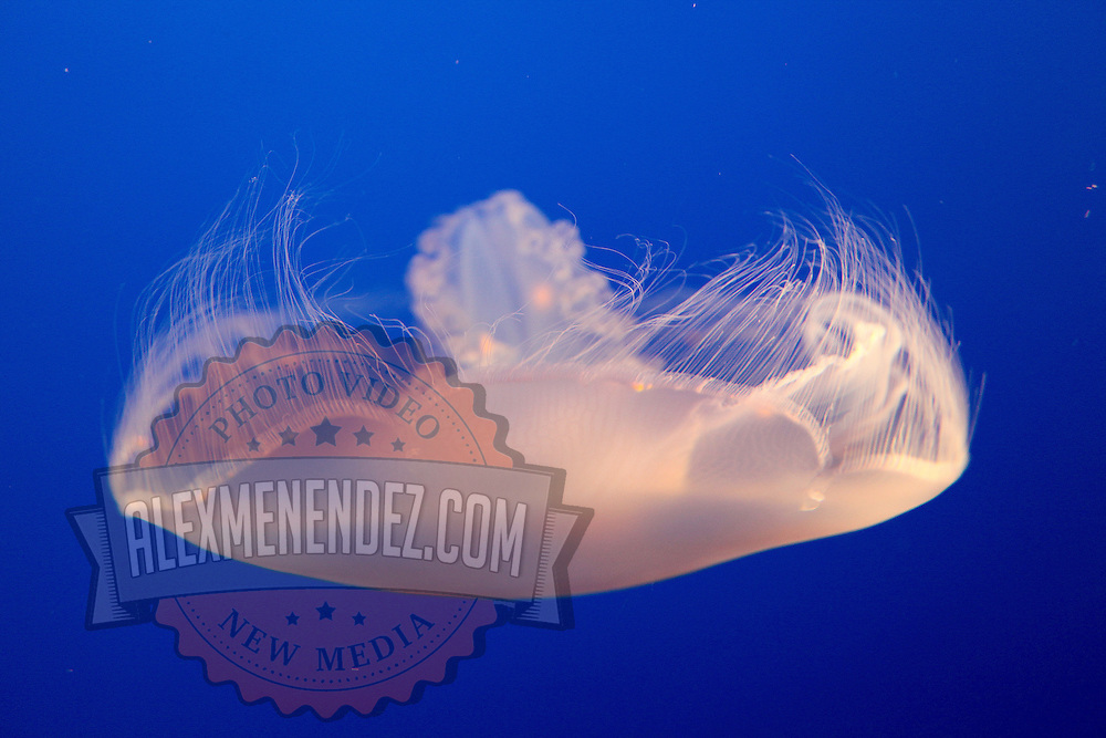A Moon Jellyfish as seen at the Monterey Bay Aquarium, which is located on Cannery Row in Monterey, California, on Friday July 13, 2012.(AP Photo/Alex Menendez)