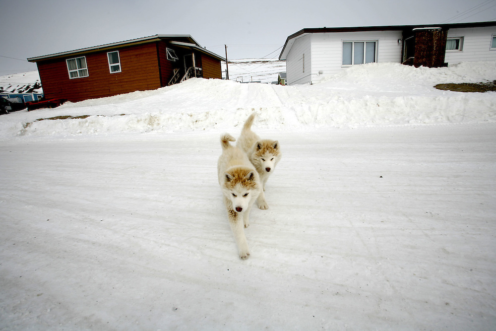 Two Husky puppies walk outside in the constant summer light in the Inuit town of Resolute Bay, located in the far North of Canada, on May 31, 2007.  Huskies are the traditional dogs that poll sleds on the ice in the arctic circle..... **GERMANY OUT**