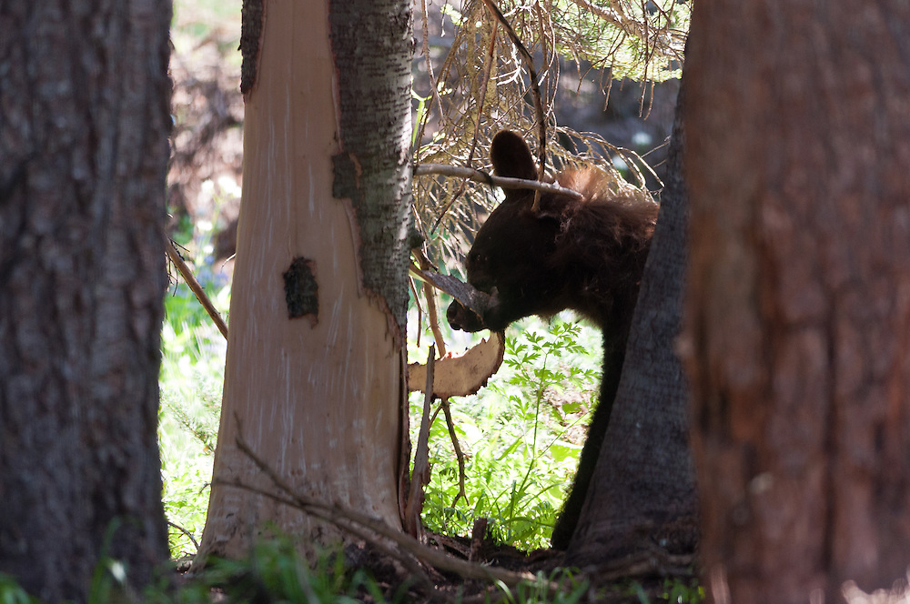 A young black bear (Ursus americanus) peeling bark of a recently stripped sub-alpine fir. Sunrise, Mount Rainier National Park.