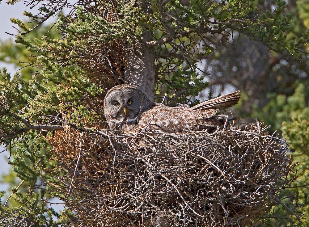 Alaska. A Great Gray Owl (Strix nebulosa) incubating on a nest in a spruce tree, Tolsana, Alaska.