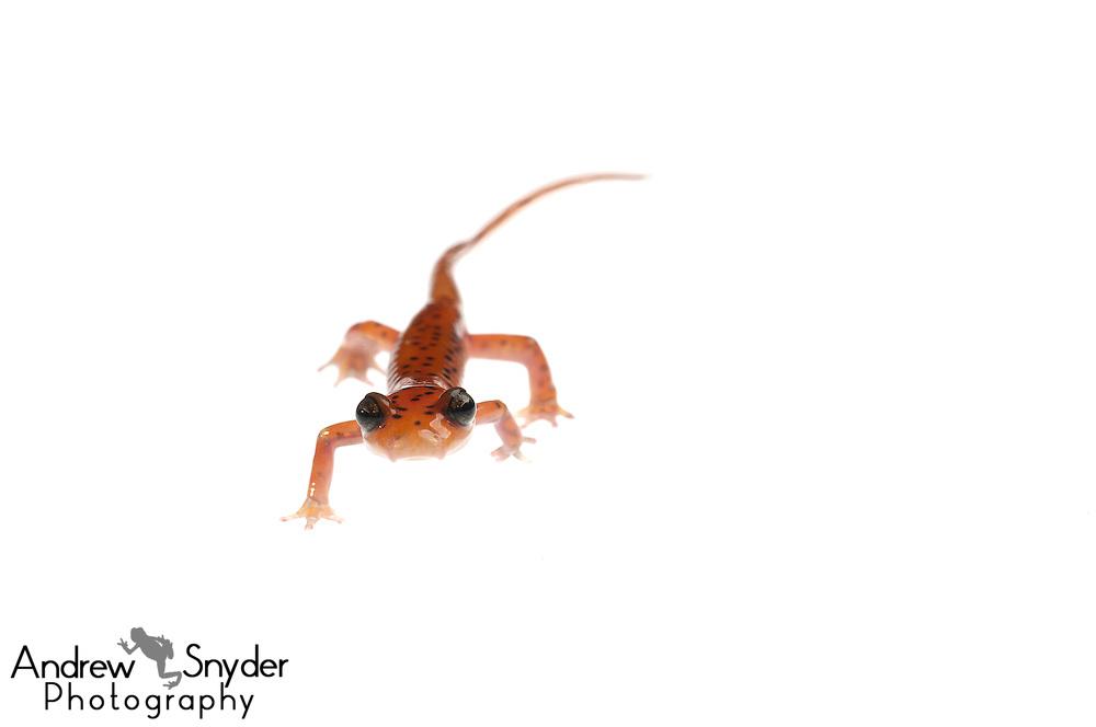 Cave salamander (Eurycea lucifuga) - Tishomingo, Mississippi.