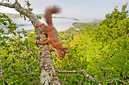 Red Squirrel (Sciurus vulgaris) on branch in scottish deciduous oak woodland, wide angle view of loch awe behind