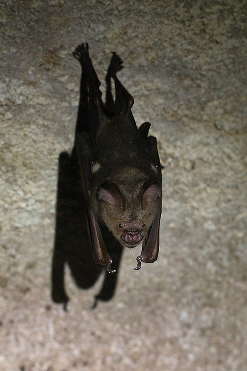 A lone bat roosting in the limestone caves of Gunung Mulu National Park, Borneo.