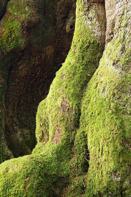 Oak trees (Quercus) L'allée des Géants, Ces arbres de 400ans,  Bois Noirs, Saint Nicolas de Biefs, Montagne Bourbonnaise, Auvergne, France