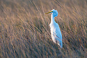 Great Egret standing in long grass, Rio Savanne, Beira, Sofala Province, Mozambique