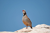 Adult Chukar Partridge introduced to the United States in the west as a game bird.