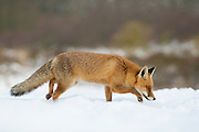 Red Fox looking for a meal. Amsterdamse waterleidingduinen, The Netherlands. December 2010.