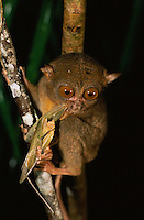 Philippine Tarsier (Tarsius syrichta) is endemic to the Philippines..Bohol Island, Philippines.  Nov 01