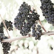 Desaturated Grapes