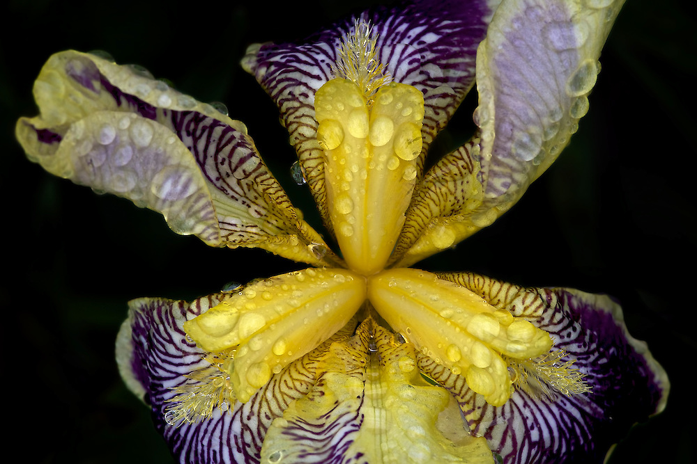 Iris in the Rain<br />