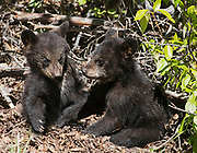 Black Bear (Ursus americanus) cubs playing in the summer sunlight, Arctic Valley.