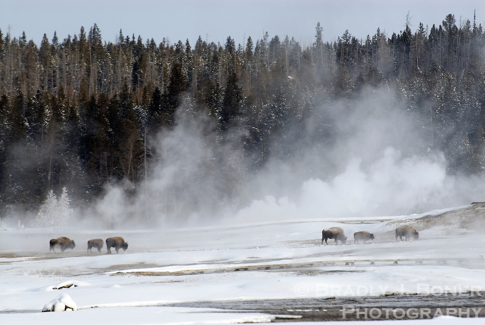 Bison wander about the steam pots of the Upper Geyser Basin near Old Faithful in Yellowstone National Park.  The bison are drawn to the basin in the winter warmth and to graze on foliage that is exposed or buried under shallow snow.