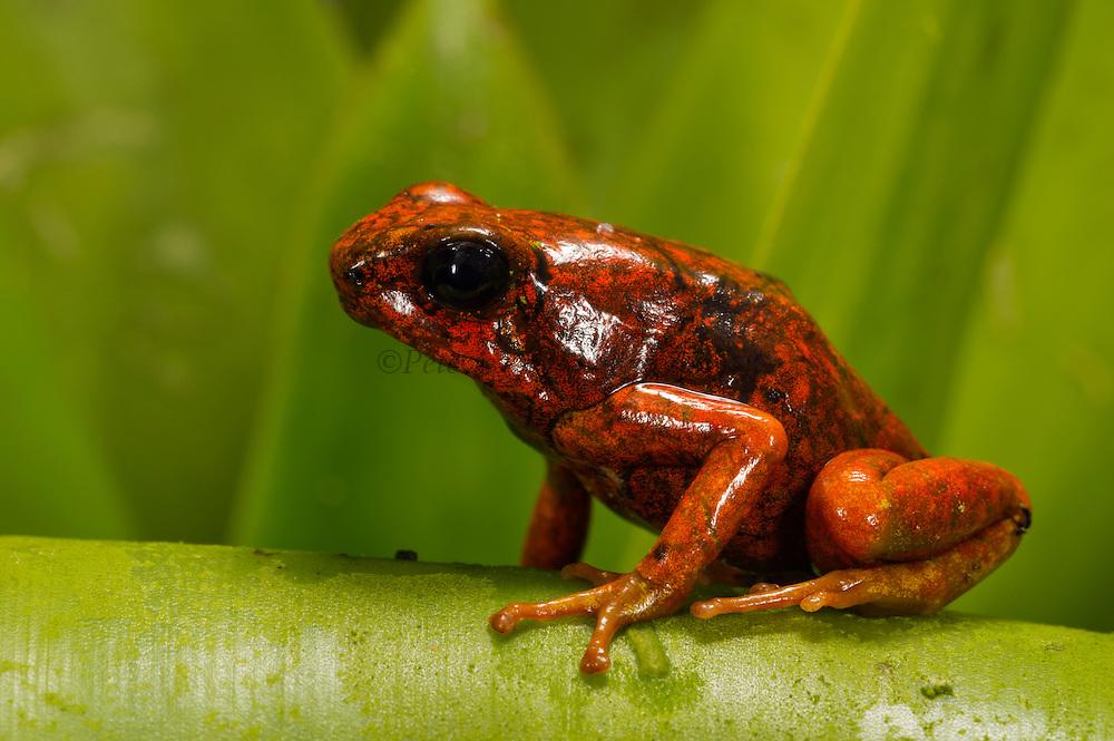 Pichincha Poison Arrow Frog (Oophaga sylvatica)<br /> CAPTIVE<br /> Northwest ECUADOR.<br /> South America<br /> RANGE: Ecuador, <br /> 0-1000m