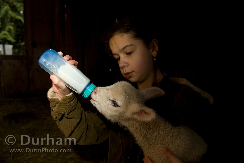 10 year old Isabel bottle feeds a newborn lamb rejected by its mother in a barn on a small family farm, Sauvie Island, Oregon. Model and Property released.